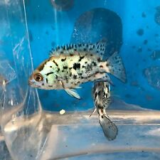 Electric Blue Jack Dempsey Cichlid Live Tropical Freshwater Aquarium Fish