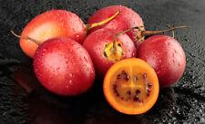 🍅 10 GRAINES TOMATE EN ARBRE (Cyphomandra betacea 'red') TAMARILLO SEEDS SAMEN
