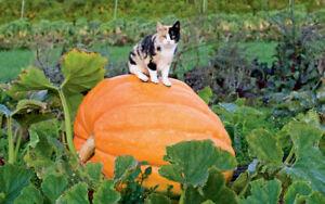 Giant Size Pumpkin / 10~Finest Seeds / Make Your Own Garden / UK Seller /