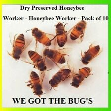 ⭐️⭐️⭐️⭐️⭐️ 10 REAL Honey Bees *DRY* SPECIMEN INSECT TAXIDERMY HELP SAVE THE BEES