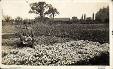 Wisbech photo. Flower Growing by C.W. Rutter, 40 Elm Road, Wisbech.