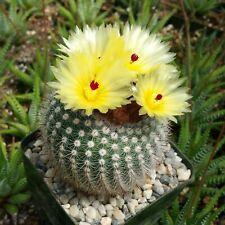 Notocactus or Parodia scopa Cactus Cacti Succulent Real Live Plant