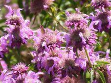 BERGAMOT CITRIODORIA  100 seeds flower garden