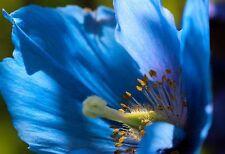 BLAUER TIBET SCHEINMOHN-15 SAMEN-MECONOPSIS BETONICIFOLIA-HIMALAYAN BLUE POPPY