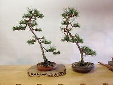 25 Japanese Black Pine Tree Seeds, Pinus Thunbergii, Bonsai - US Seller