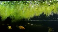 Big Dwarf Water Lettuce Live aquatic floating plant for aquarium pond fish tank