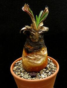 Boophane disticha,Caudex,Euphorbia,Bulb