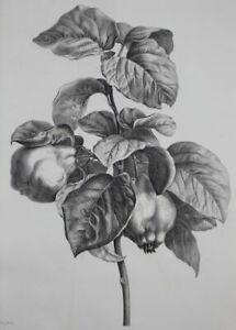 Quitten - Chaponnier n. Bessa Punktier-Kupferstich Botanik Pomologie fruits 1900