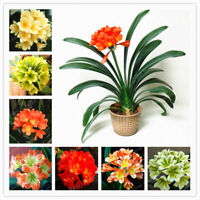 100Pcs Seeds Clivia Flowers Bonsai Potted Plants Rare Beautiful Kind in Garden