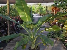 Banana seeds 5 x Ensete superbum:  banaan zaden