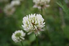White Clover Wild Flower Plug Plants Native Bee Insect Friendly Garden Perennial