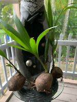 1  Coconut 🌴 Tree Live Plant Tropical