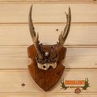 Roe Deer Antler Skull European Mount GB4064