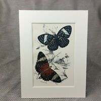 1897 Antique Butterfly Print Ageronia Arethusa Amphinome Victorian Butterflies