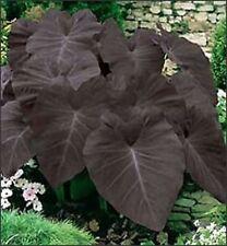 Colocasia esculenta -  'Black Magic' -  Elephant Ear