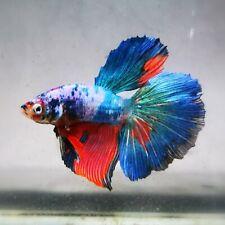 Live Betta Fish - Male - Koi Candy Blue Opaque Halfmoon (AMMAUG81) (High-Grade)