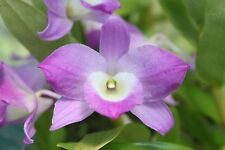 Orchid Plant - Dendrobium Den. Nobile - species - FLOWERING SIZE !!