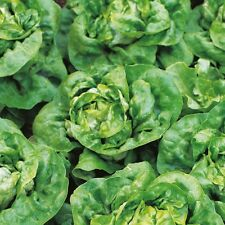 Lettuce - Arctic King - 1400 Seeds