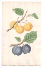 1820 Brookshaw Repository, Drap d'Or Plum hand colured Botanical plate