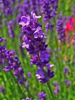 400+ Samen Lavandula angustifolia - Echter Lavendel