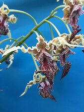 "Dendrobium spectabile 'Draco' X Self Fragrant Bizarre Flowers 4"" Pot Divisions"
