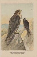 Feldeggsfalke Falco Feldeggi Schleg. FALKE  LITHOGRAPHIE 1899 Falcon Falken Falk