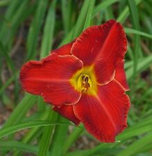 Daylily Plant Kent's Favorite Two Ii 2 Rebloom Perennial Df Kirchhoff-D. Red