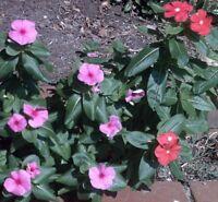 Madagaskar-Immergrün / Rosafarbenes Zimmerimmergrün / wunderschöne Zimmerblume