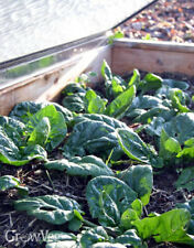 Spinach Winter Giant Seeds Vegetable Organic Heirloom 30 seeds