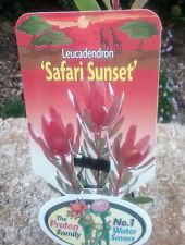Leucadendron Safari Sunset in 75mm tube (Leucadendron and Protea) cut flower