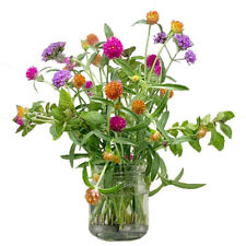 mix color Gomphrena Globosa Seed  Exotic Annual Flower