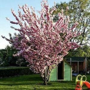 """1st. Japanische Blüten/-Zierkirsche """"Prunus serrulata"""" 120-150cm im großen Topf"""