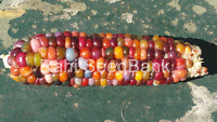 Corn Thunder Storm - A Rare, Stunning Multicoloured Corn Variety!!!
