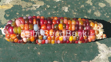 Corn Thunder Storm - A Rare, Stunning Multicoloured Corn Variety!!!