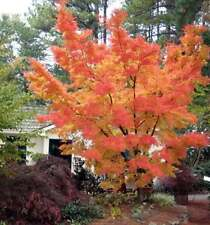 Rare 'Sango kaku' Japanese Maple Tree Seeds. Acer palmatum. Great for Bonsai.