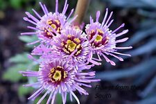 "Chrysanthemum ""Protection Aloha"" x 1 plant. Unusual form."