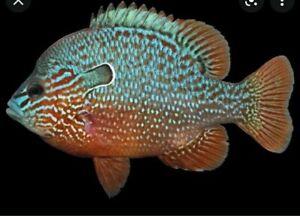 "LongEar Sunfish Lepomis 2.5-3"" For Aquarium/ Pond 1 live Colorful Fish Cichlid"