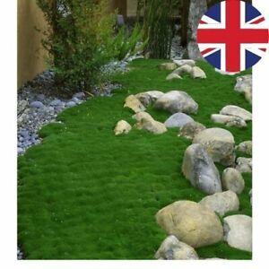 IRISH MOSS SAGINA SUBULATA PEARLWORT SEEDS Landscaping - Fresh Seeds - UK SELLER