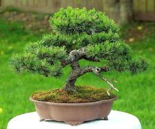 Mugo Pine 25 Seeds - Bonsai - Pinus mugo mughus