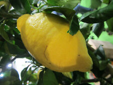 Citrus lemon - echte Zitrone - Pflanze 40-60cm - Zitrus - Zitronenbaum