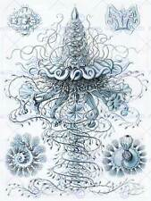 NATURE ART JELLYFISH ERNST HAECKEL GERMANY BIOLOGY VINTAGE POSTER PRINT 879PY