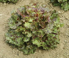 ORGANIC Mottistone LETTUCE 100+ seeds Speckled French Crisp Batavia Type Non-GMO