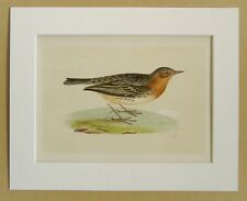 Red Throated Pipit - Charles Bree 1860s Antique Mounted Hand Coloured Bird Print
