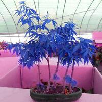 10pcs  Rare Blue Maple Seeds Maple Seeds Bonsai Tree Plants Potted Pop*