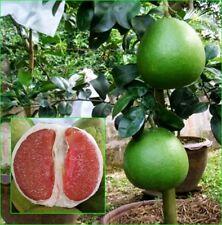 50cm Grafted Plant Thai Pomelo tree Citrus maxima Rare Variety TUB TIM SIAM