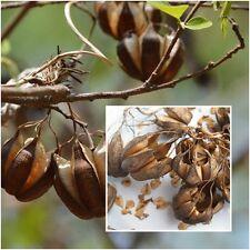 Aristolochia indica 100 Seeds 5 dry pod, Aristolochiaceae, Vines Exotic Rare