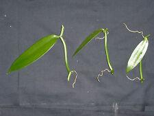 3 Boutures de Vanille de 2 noeuds (Vanilla planifola) Liane Orchidée