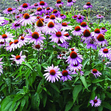 250 Purple Coneflower Seeds (Echinacea Purpurea) Organic