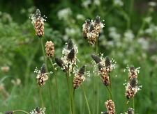 Ribwort Plantain-Plantago lanceolata - 750 graines-FLEURS SAUVAGES-VIVACES