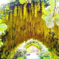 Golden Gelb Wisteria sinensis - 10 Samen - Chinesischer Blauregen Glyzinie